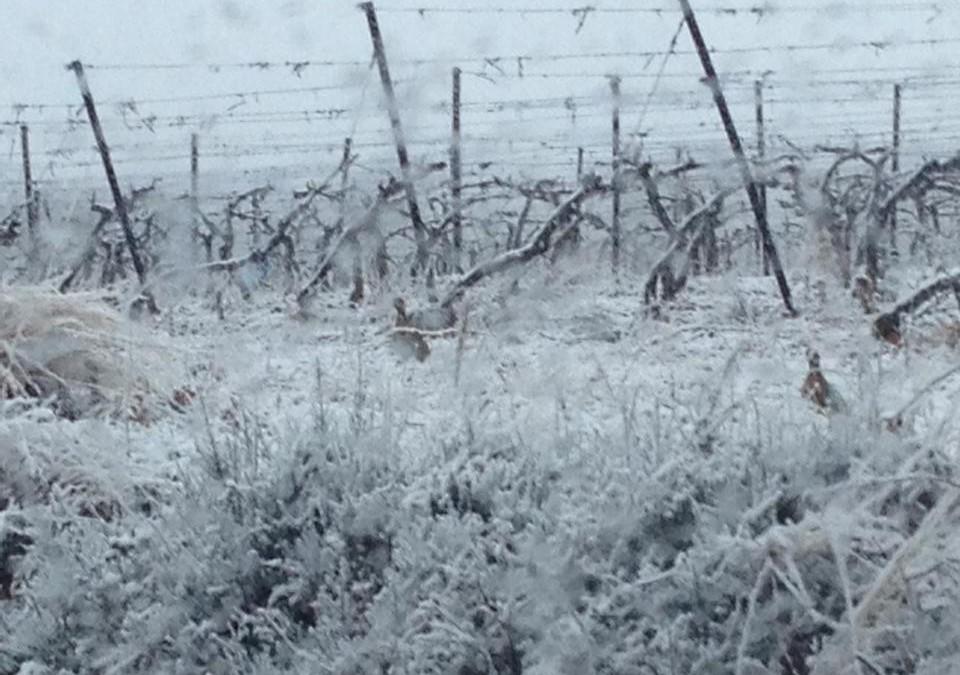 Belle neige au domaine dans les vignes nues